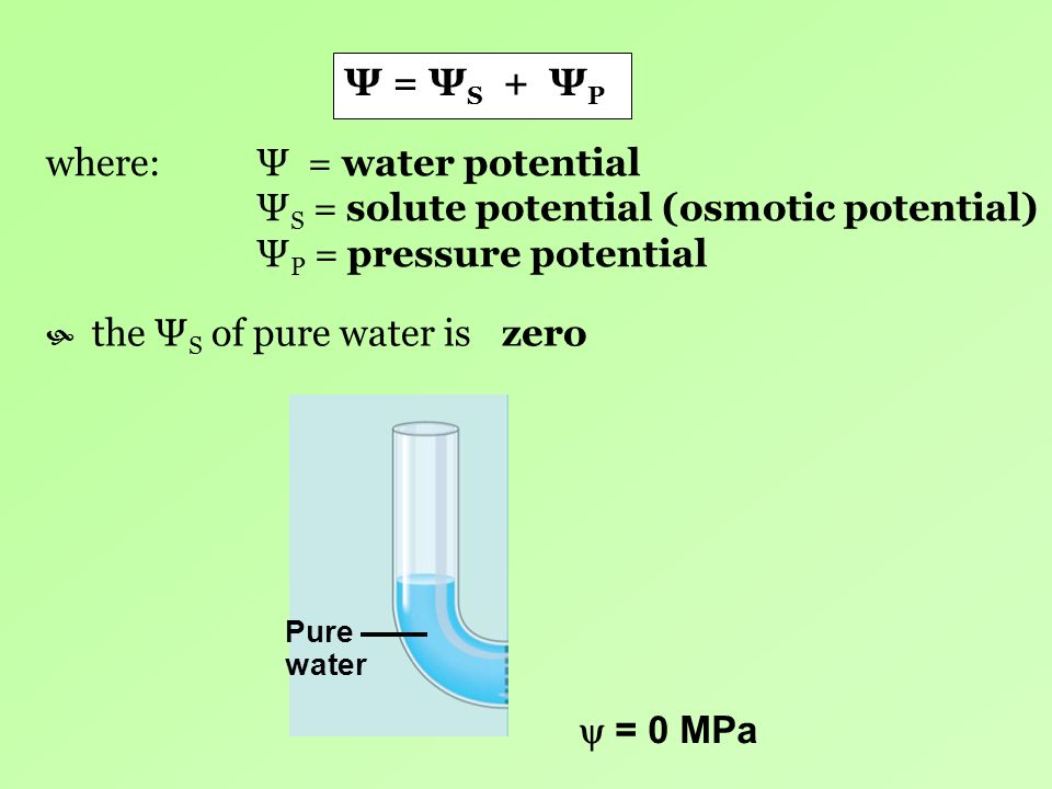 Ψ = Ψ S + Ψ P where: Ψ = water potential Ψ S = solute potential (osmotic potential) Ψ P = pressure potential the Ψ S of pure water is Pure water = 0 M