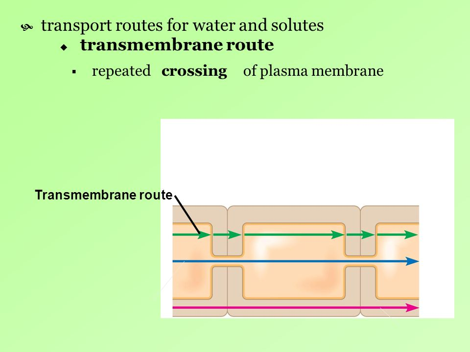 transport routes for water and solutes transmembrane route repeated of plasma membrane Transmembrane route crossing