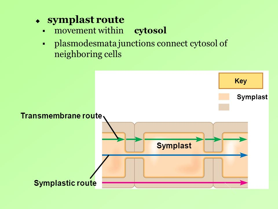 symplast route Key Symplast Symplastic route Symplast Transmembrane route movement within plasmodesmata junctions connect cytosol of neighboring cells