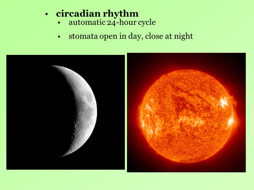 circadian rhythm automatic 24-hour cycle stomata open in day, close at night