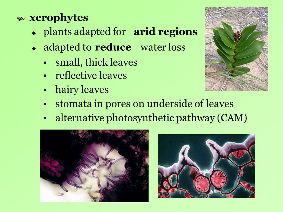 xerophytes plants adapted for small, thick leaves adapted to water loss reflective leaves hairy leaves stomata in pores on underside of leaves alterna