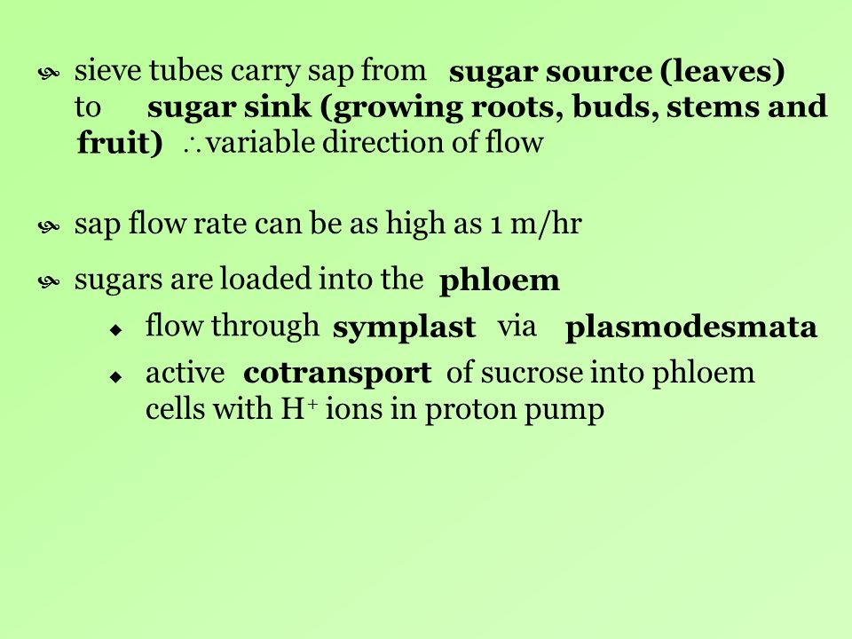 sieve tubes carry sap from to sap flow rate can be as high as 1 m/hr sugars are loaded into the flow through via active of sucrose into phloem cells w