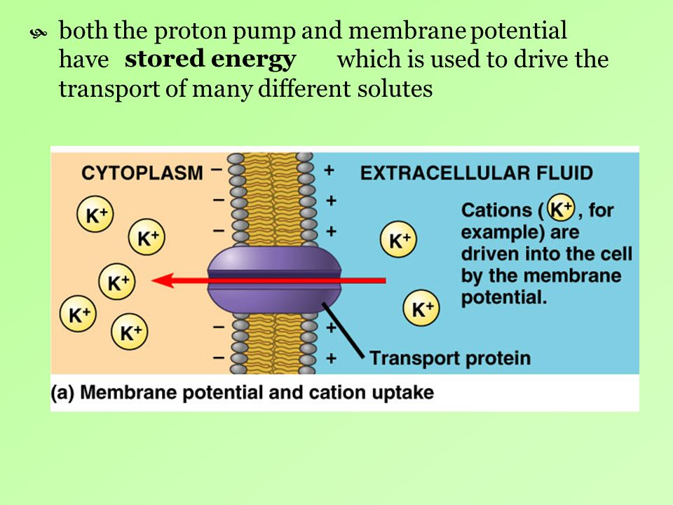 both the proton pump and membrane potential have which is used to drive the transport of many different solutes stored energy