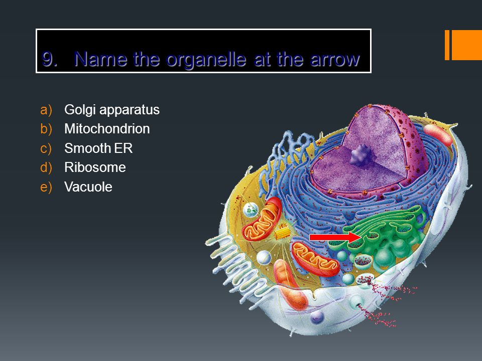 9.Name the organelle at the arrow a)Golgi apparatus b)Mitochondrion c)Smooth ER d)Ribosome e)Vacuole