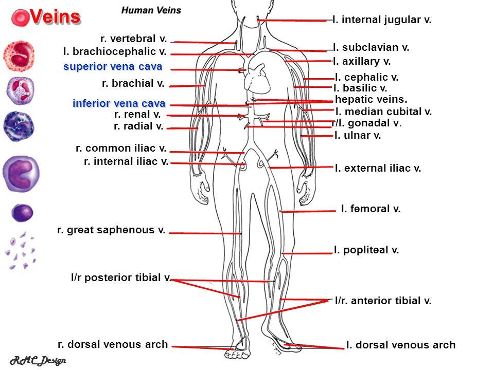 RMC DesignVeins l/r.anterior tibial v. l. dorsal venous arch l/r posterior tibial v.