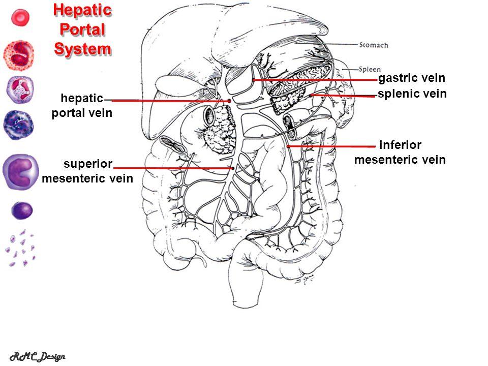 RMC Design Hepatic Portal System hepatic portal vein gastric vein splenic vein inferior mesenteric vein superior mesenteric vein