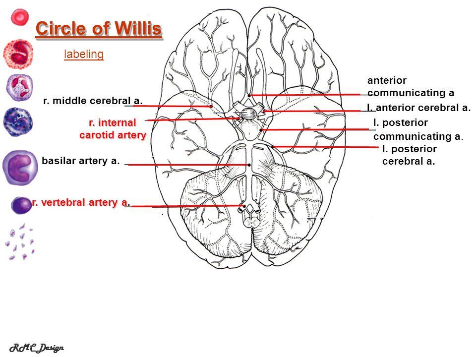 RMC Design Circle of Willis Circle of Willis r.internal carotid artery l.