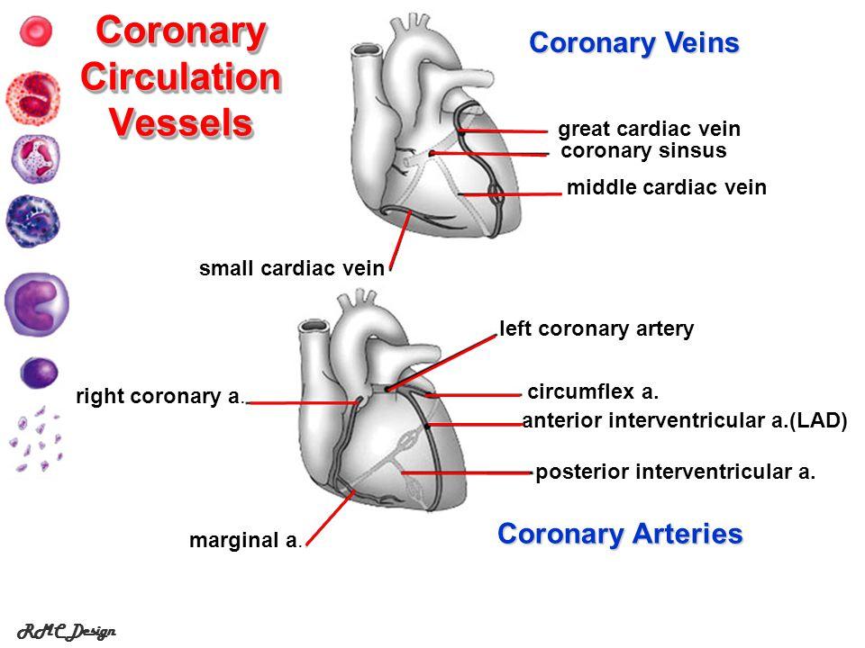 RMC Design Coronary Circulation Vessels left coronary artery circumflex a.