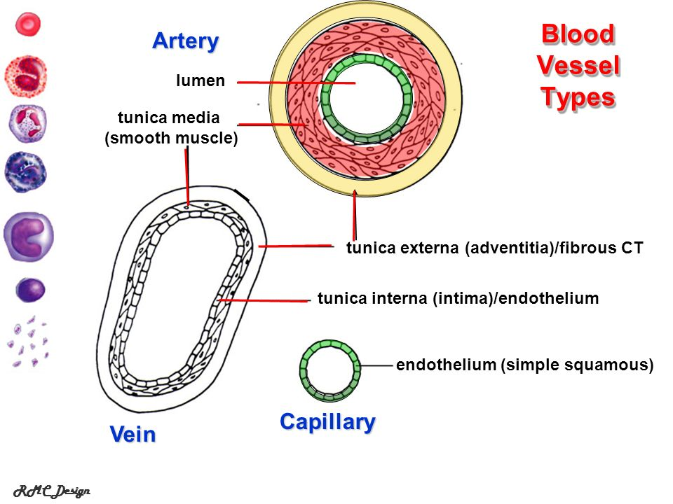 RMC Design Blood Vessel Types tunica interna (intima)/endothelium Artery endothelium (simple squamous) Capillary tunica media (smooth muscle) Vein tun