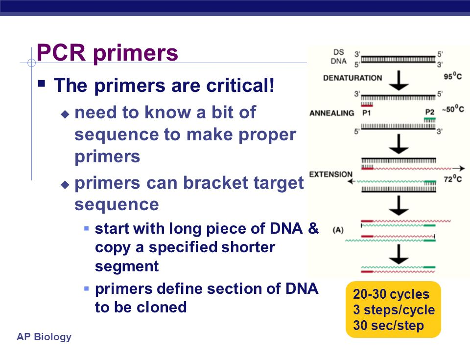 AP Biology PCR process Its copying DNA in a test tube! What do you need? template strand DNA polymerase enzyme nucleotides ATP, GTP, CTP, TTP primer T