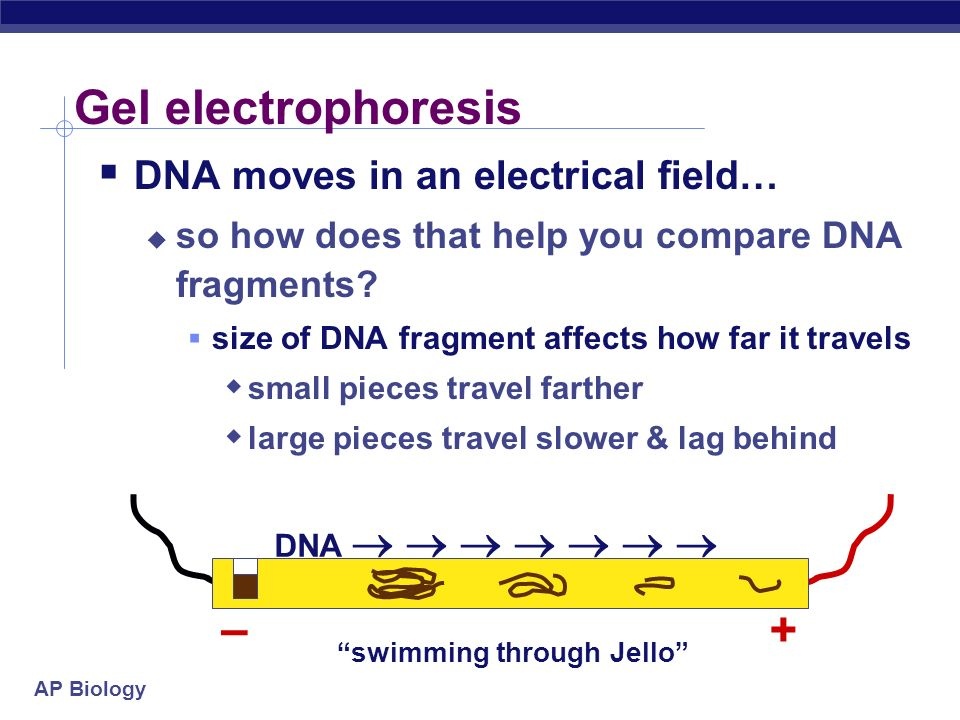 AP Biology DNA moves in an electrical field… so how does that help you compare DNA fragments.