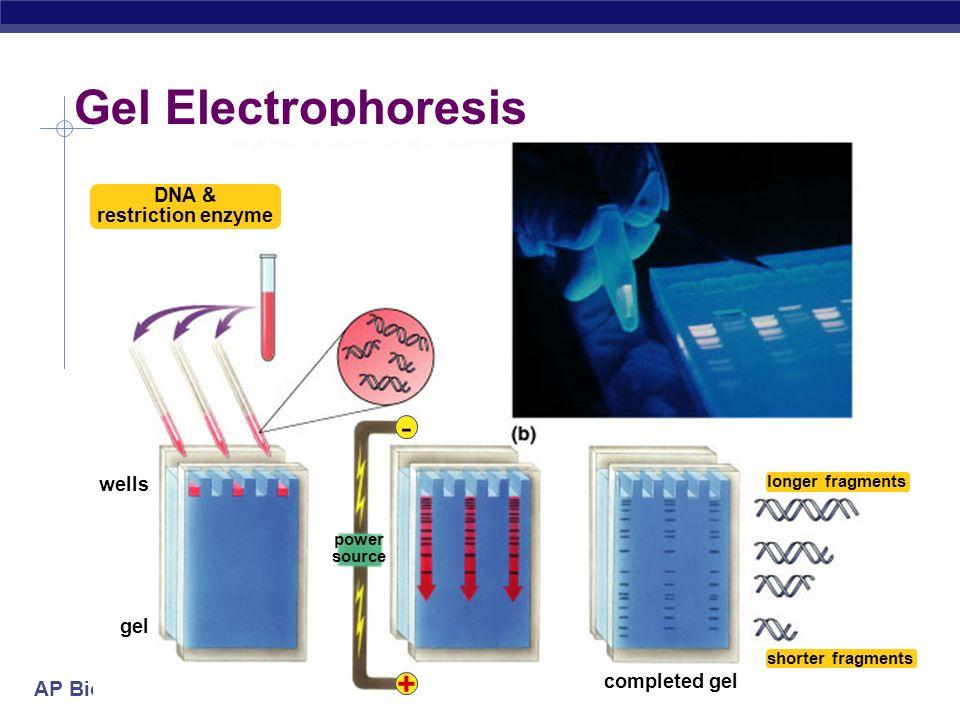 AP Biology Kary Mullis development of PCR technique a copying machine for DNA 1985 | 1993