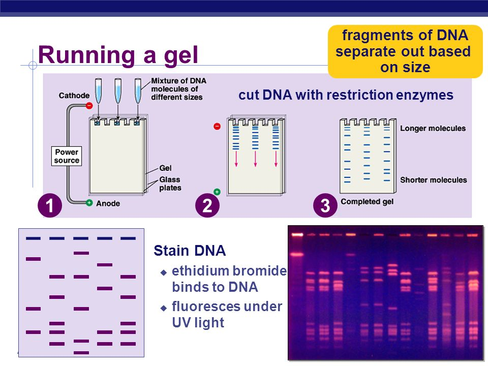 AP Biology Gel Electrophoresis longer fragments shorter fragments power source completed gel gel DNA & restriction enzyme wells - +