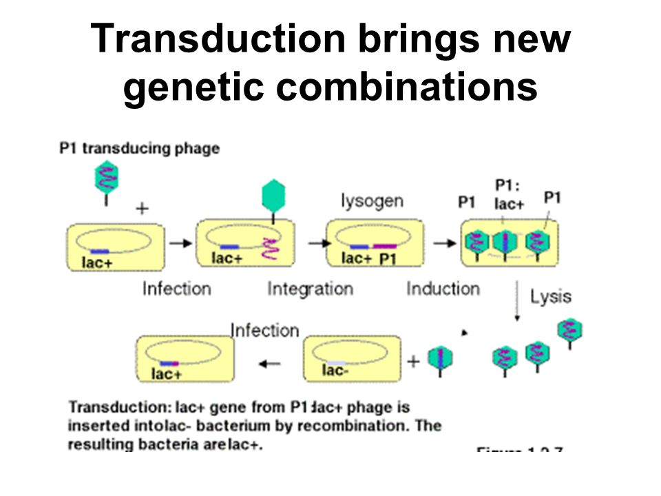 Transduction brings new genetic combinations