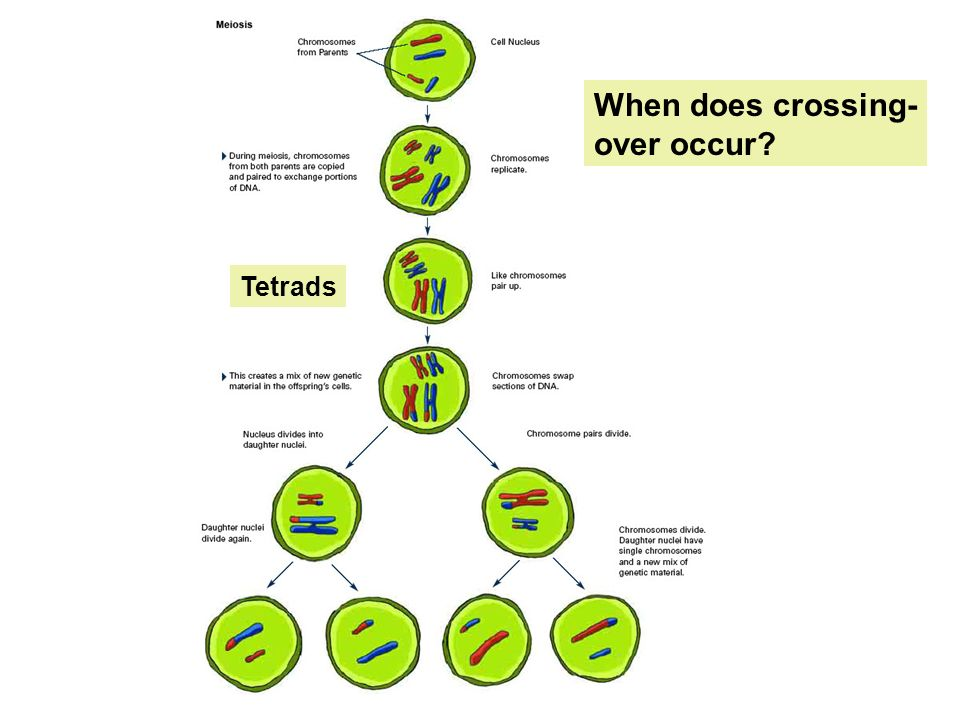 When does crossing- over occur? Tetrads