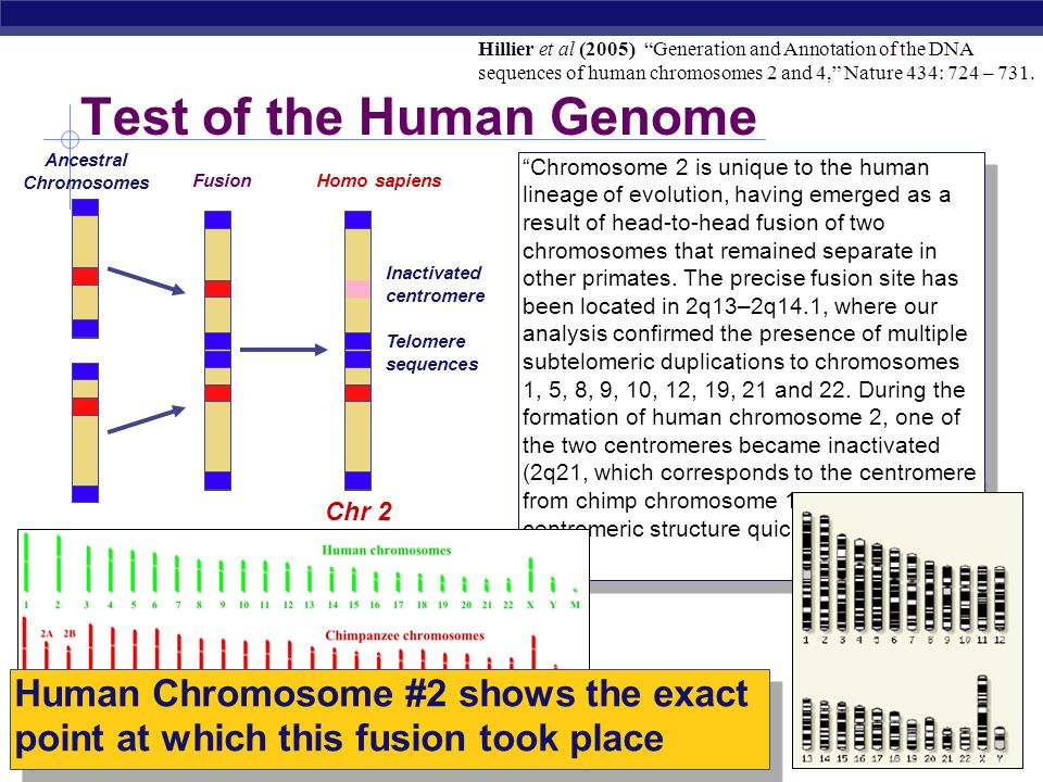 Chromosomal fusion Testable prediction: Testable prediction: If common ancestor had 48 chromosomes (24 pairs), then humans carry a fused chromosome (2