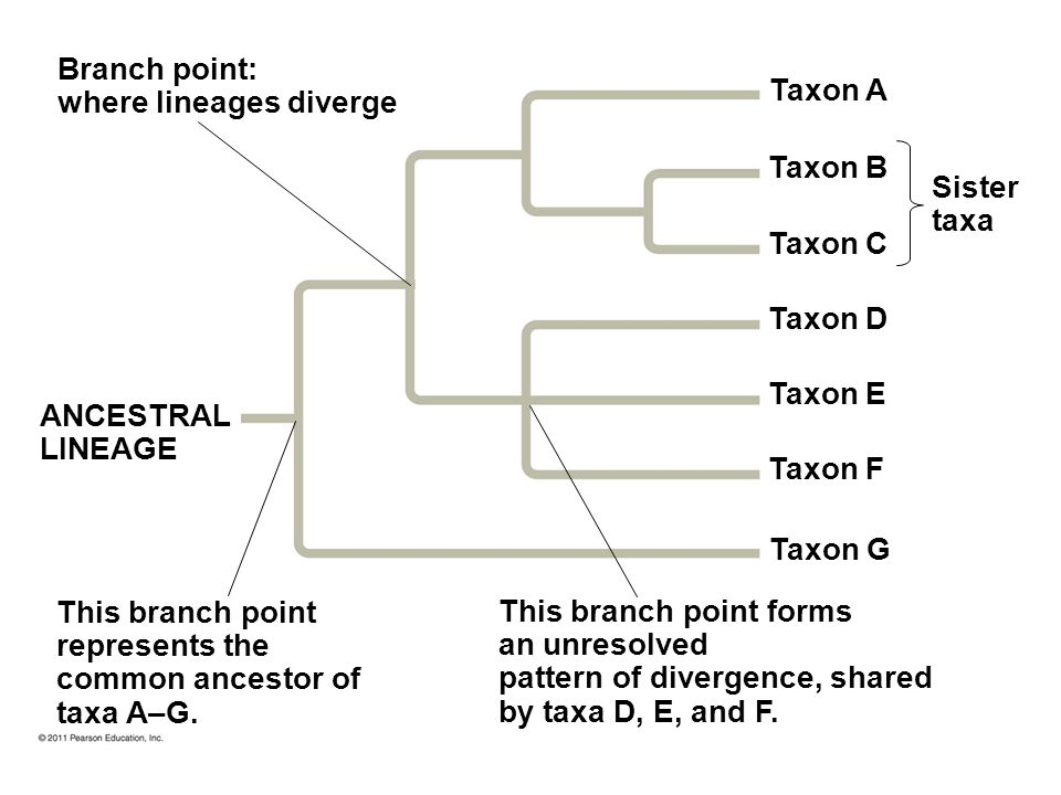 Phylogenetic Trees A phylogenetic tree is a hypothesis about evolutionary relationships Moves forward in time from the root Each branch point represen