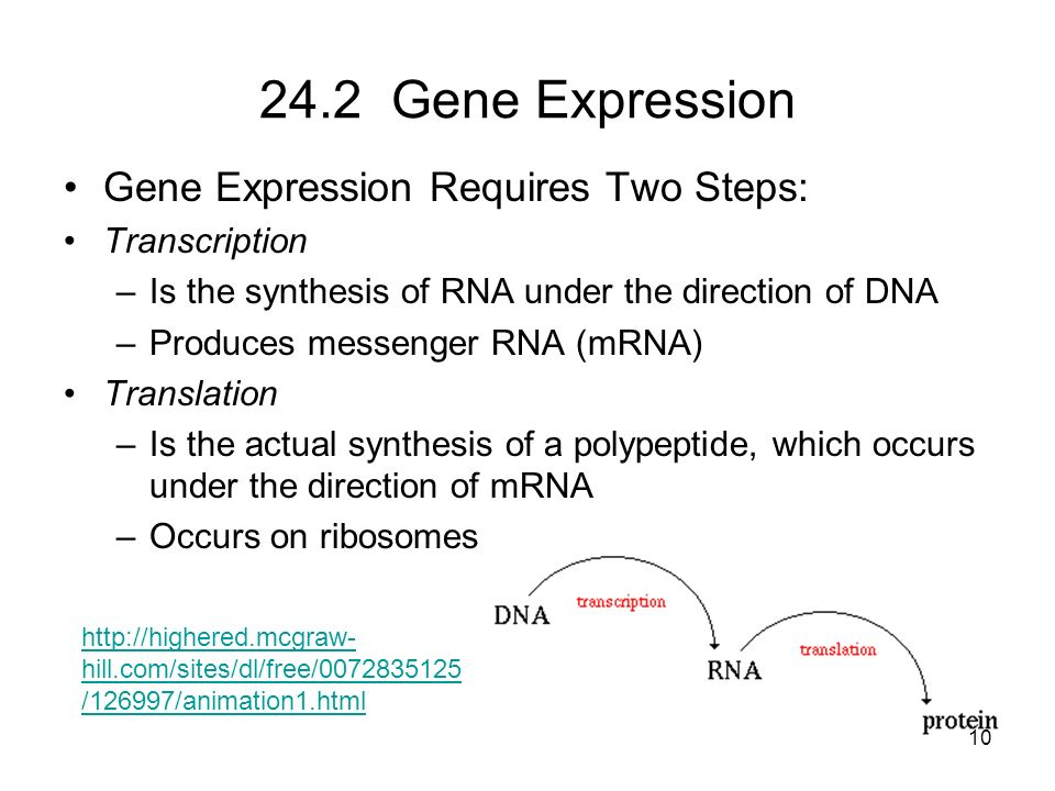 24.2 Gene Expression Gene Expression Requires Two Steps: Transcription –Is the synthesis of RNA under the direction of DNA –Produces messenger RNA (mR