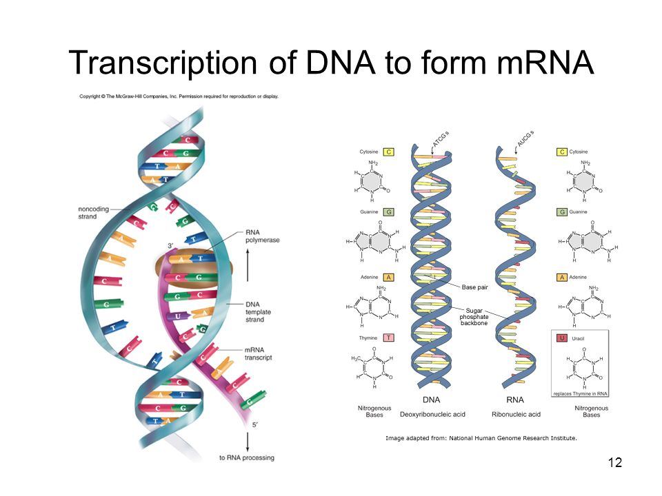 Transcription of DNA to form mRNA 12