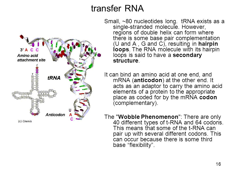 transfer RNA Small, ~80 nucleotides long. tRNA exists as a single-stranded molecule. However, regions of double helix can form where there is some bas