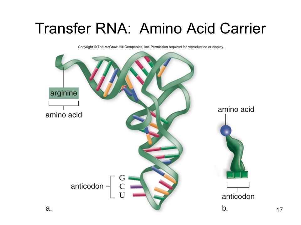 Transfer RNA: Amino Acid Carrier 17