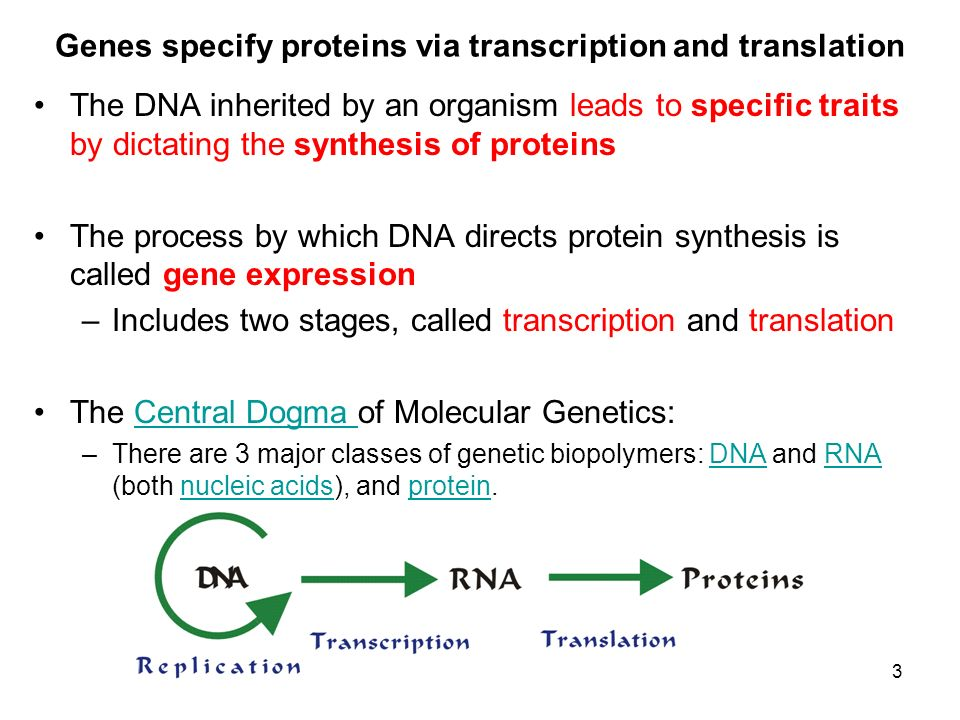 Genes specify proteins via transcription and translation The DNA inherited by an organism leads to specific traits by dictating the synthesis of prote