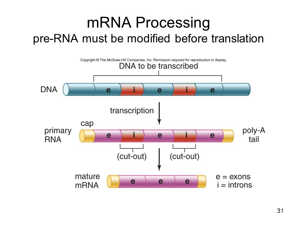 mRNA Processing pre-RNA must be modified before translation 31