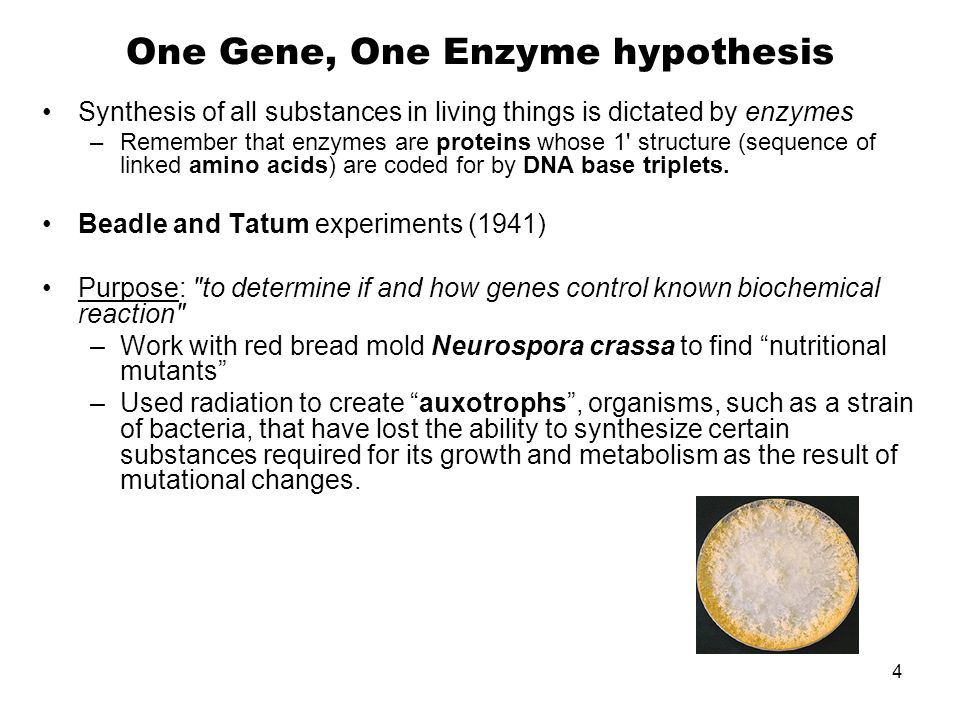 One Gene, One Enzyme hypothesis Synthesis of all substances in living things is dictated by enzymes –Remember that enzymes are proteins whose 1' struc