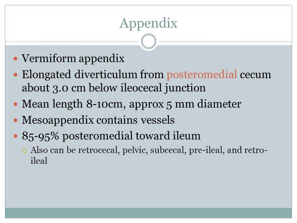 Appendix Vermiform appendix Elongated diverticulum from posteromedial cecum about 3.0 cm below ileocecal junction Mean length 8-10cm, approx 5 mm diam