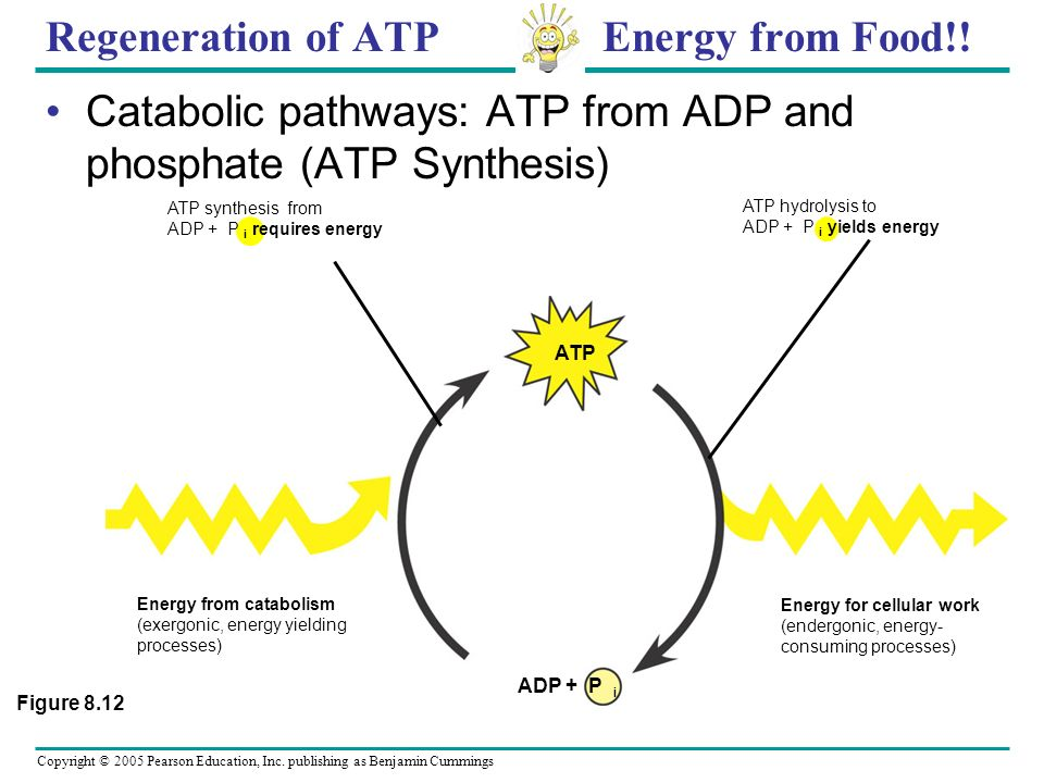 Copyright © 2005 Pearson Education, Inc. publishing as Benjamin Cummings Cellular work p owered by hydrolysis of ATP (c) Chemical work : ATP phosphory