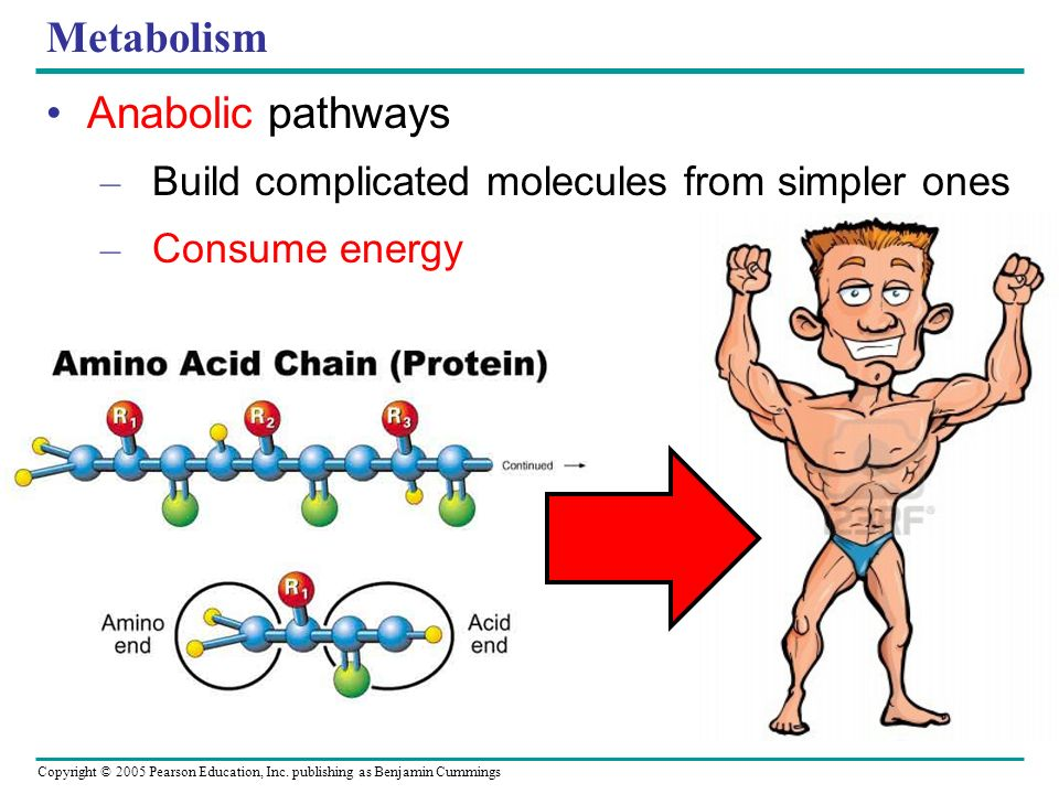 Copyright © 2005 Pearson Education, Inc. publishing as Benjamin Cummings Metabolism Catabolic pathways – Complex molecules simpler compounds – Release