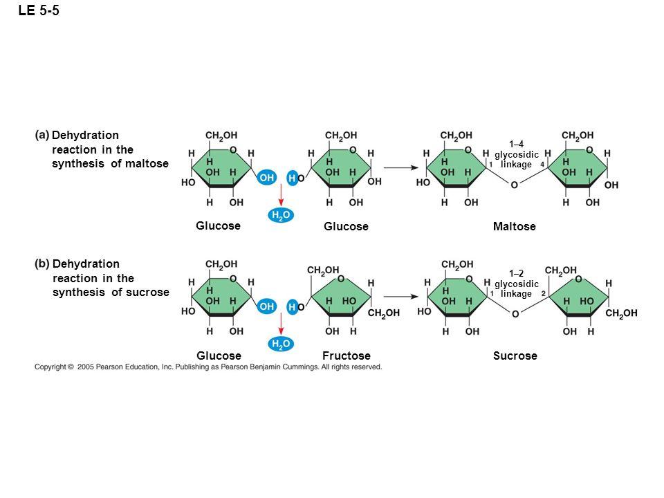 LE 5-5 Glucose Maltose Fructose Sucrose Glucose Dehydration reaction in the synthesis of maltose Dehydration reaction in the synthesis of sucrose 1–4
