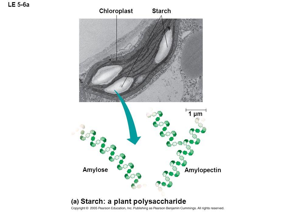 LE 5-6a ChloroplastStarch 1 µm Amylose Starch: a plant polysaccharide Amylopectin