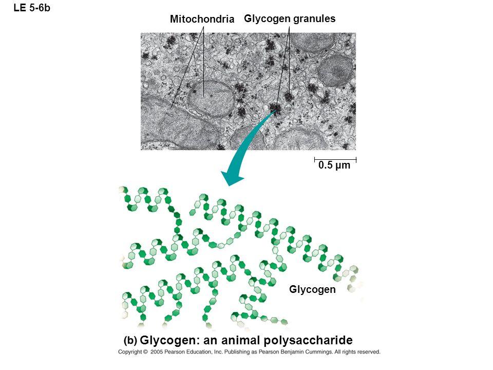 LE 5-6b Mitochondria Glycogen granules 0.5 µm Glycogen Glycogen: an animal polysaccharide