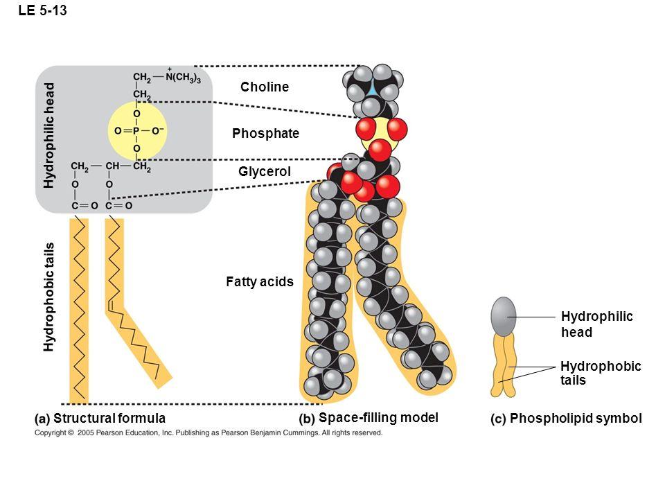 LE 5-13 Structural formula Space-filling model Phospholipid symbol Hydrophilic head Hydrophobic tails Fatty acids Choline Phosphate Glycerol Hydrophob