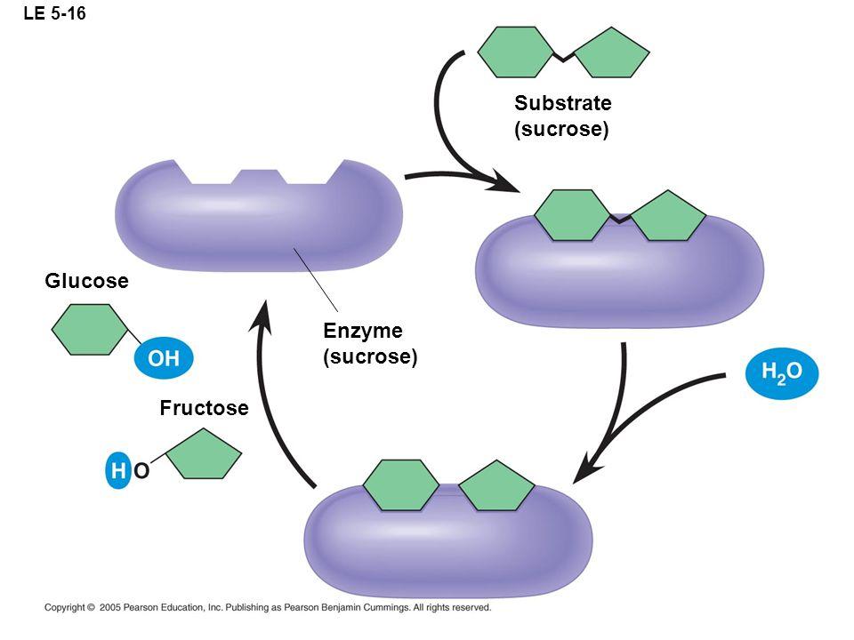 LE 5-16 Substrate (sucrose) Enzyme (sucrose) Fructose Glucose