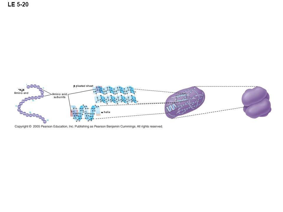 LE 5-20 Amino acid subunits pleated sheet + H 3 N Amino end helix