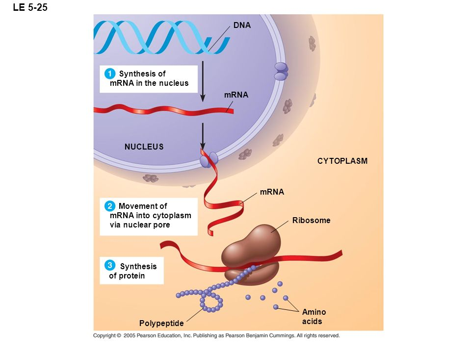 LE 5-25 NUCLEUS DNA CYTOPLASM mRNA Ribosome Amino acids Synthesis of mRNA in the nucleus Movement of mRNA into cytoplasm via nuclear pore Synthesis of