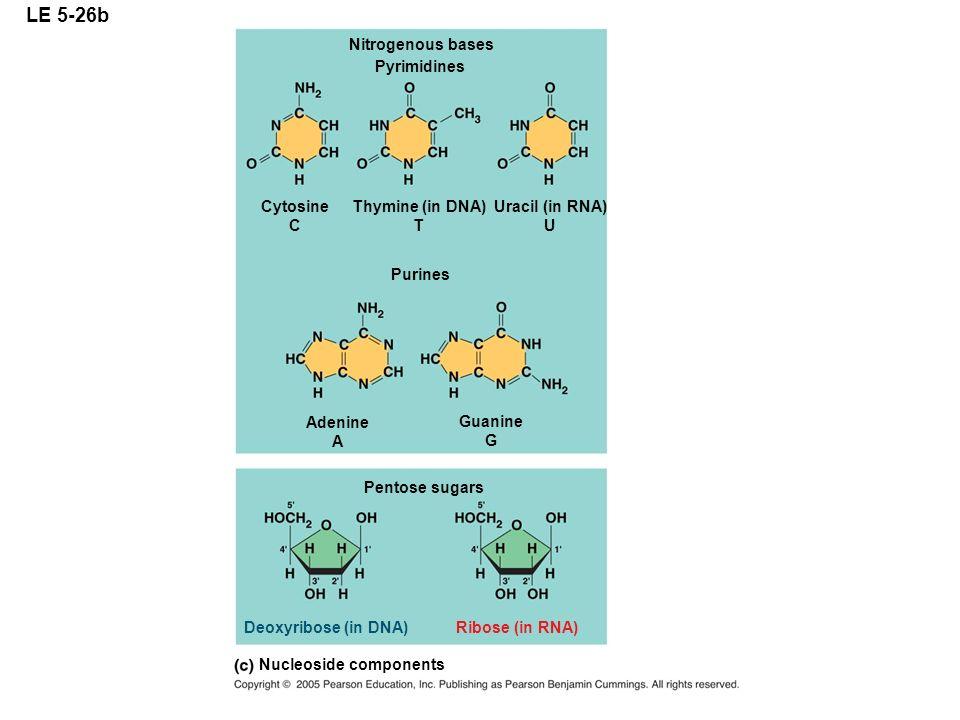 LE 5-26b Nitrogenous bases Pyrimidines Purines Pentose sugars Cytosine C Thymine (in DNA) T Uracil (in RNA) U Adenine A Guanine G Deoxyribose (in DNA)
