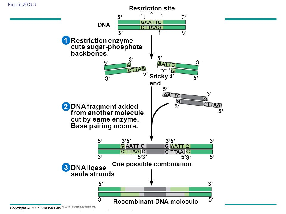 Copyright © 2005 Pearson Education, Inc. publishing as Benjamin Cummings Figure 20.3-3 Recombinant DNA molecule One possible combination DNA ligase se