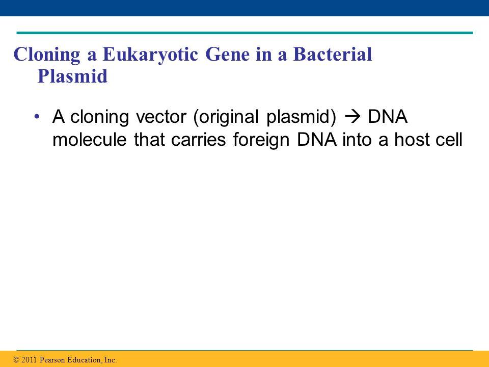 Copyright © 2005 Pearson Education, Inc. publishing as Benjamin Cummings Cloning a Eukaryotic Gene in a Bacterial Plasmid A cloning vector (original p