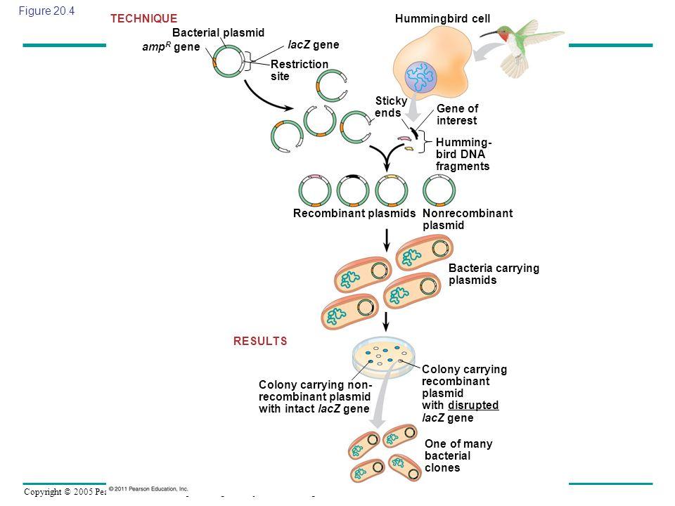 Copyright © 2005 Pearson Education, Inc. publishing as Benjamin Cummings Figure 20.4 Bacterial plasmid TECHNIQUE RESULTS amp R gene lacZ gene Restrict