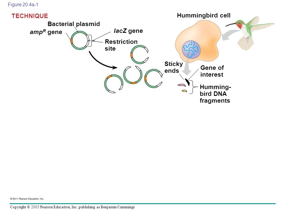 Copyright © 2005 Pearson Education, Inc. publishing as Benjamin Cummings Figure 20.4a-1 Bacterial plasmid TECHNIQUE amp R gene lacZ gene Restriction s