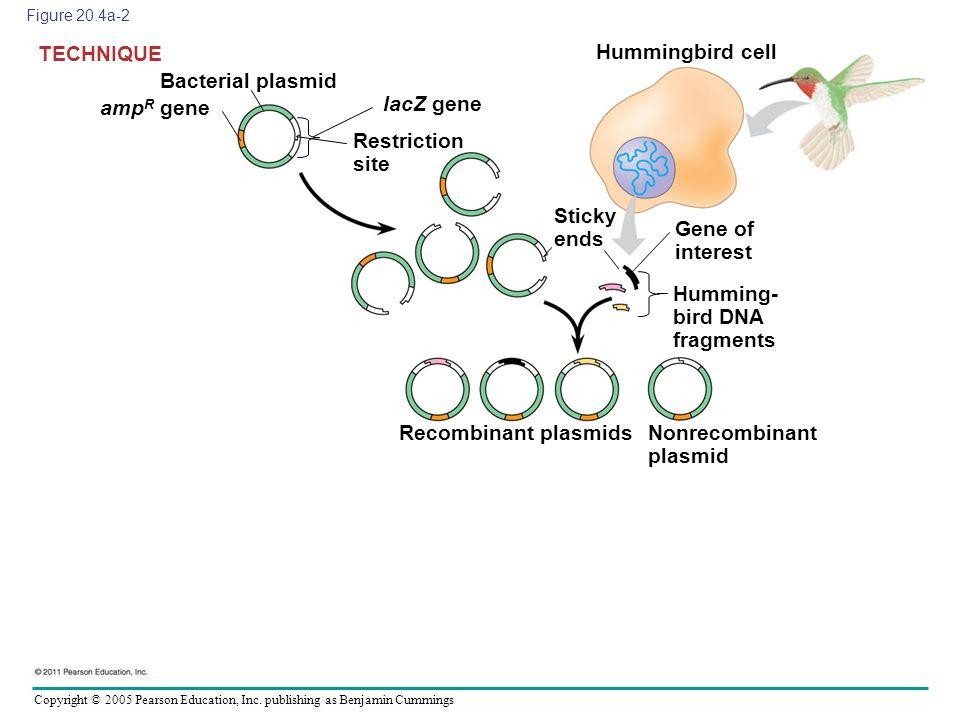 Copyright © 2005 Pearson Education, Inc. publishing as Benjamin Cummings Figure 20.4a-2 Bacterial plasmid TECHNIQUE amp R gene lacZ gene Restriction s