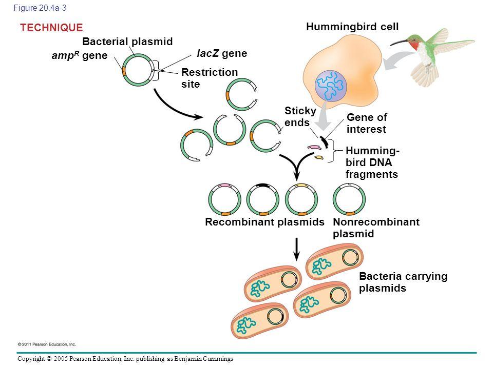 Copyright © 2005 Pearson Education, Inc. publishing as Benjamin Cummings Figure 20.4a-3 Bacterial plasmid TECHNIQUE amp R gene lacZ gene Restriction s