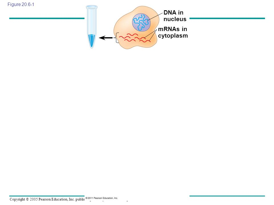 Copyright © 2005 Pearson Education, Inc. publishing as Benjamin Cummings Figure 20.6-1 DNA in nucleus mRNAs in cytoplasm