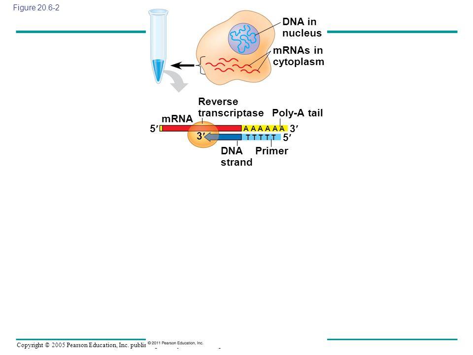 Copyright © 2005 Pearson Education, Inc. publishing as Benjamin Cummings Figure 20.6-2 DNA in nucleus mRNAs in cytoplasm mRNA Reverse transcriptase Po