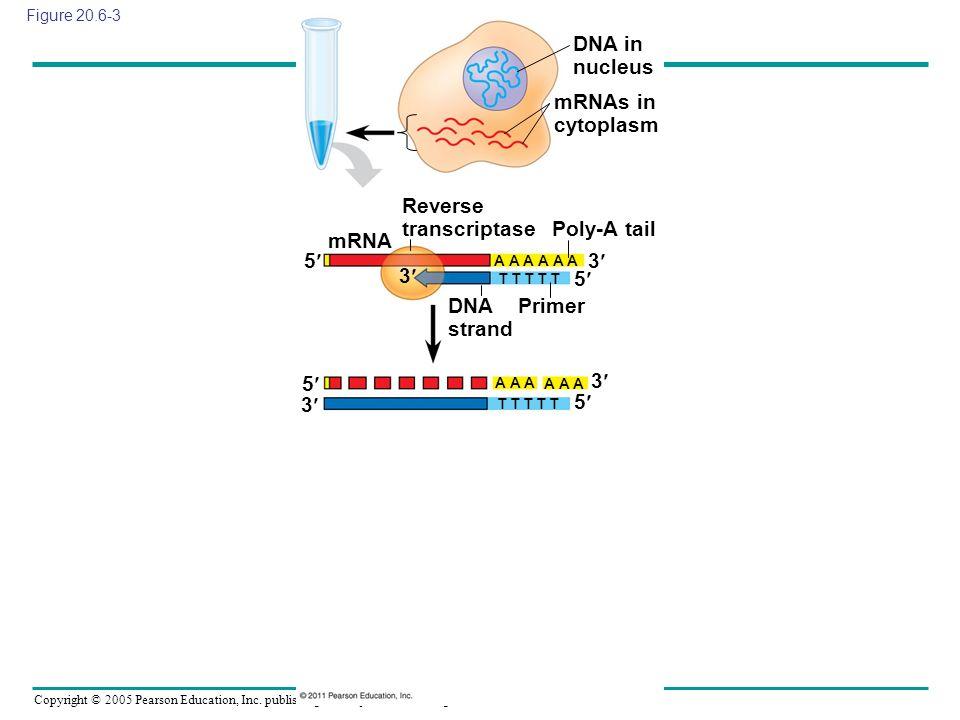 Copyright © 2005 Pearson Education, Inc. publishing as Benjamin Cummings Figure 20.6-3 DNA in nucleus mRNAs in cytoplasm mRNA Reverse transcriptase Po