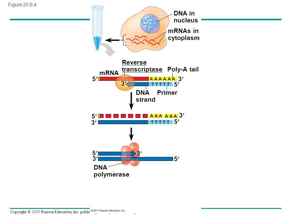 Copyright © 2005 Pearson Education, Inc. publishing as Benjamin Cummings Figure 20.6-4 DNA in nucleus mRNAs in cytoplasm mRNA Reverse transcriptase Po