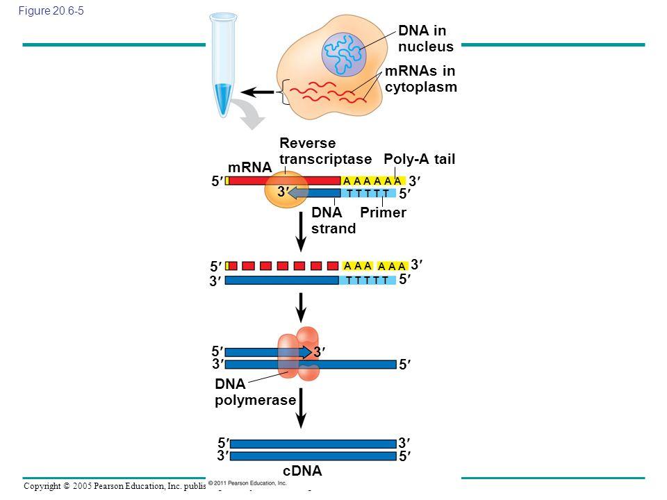 Copyright © 2005 Pearson Education, Inc. publishing as Benjamin Cummings Figure 20.6-5 DNA in nucleus mRNAs in cytoplasm mRNA Reverse transcriptase Po